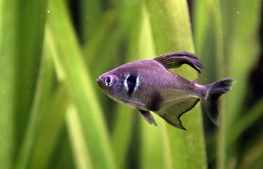 Black_Phantom_Tetra_Fish