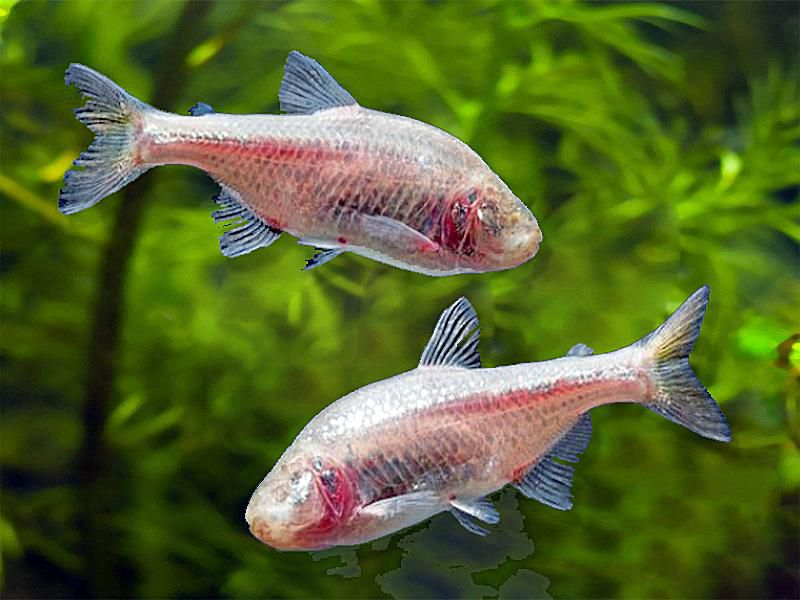 Blind_Cave_Tetra_Fish