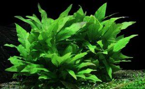 Hygrophila Corymbosa aquarium plants
