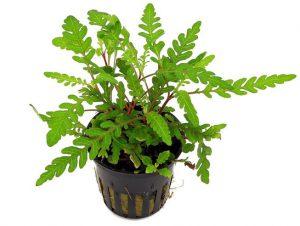 Hygrophila pinnatifida aquarium plants