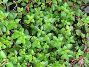 Ludwigia repens water primrose