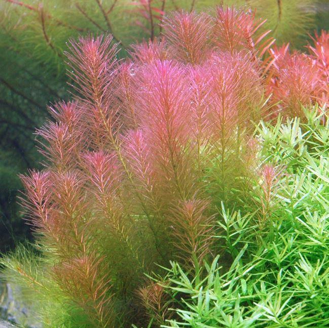 Rotala Wallichii freshwater aquarium plants