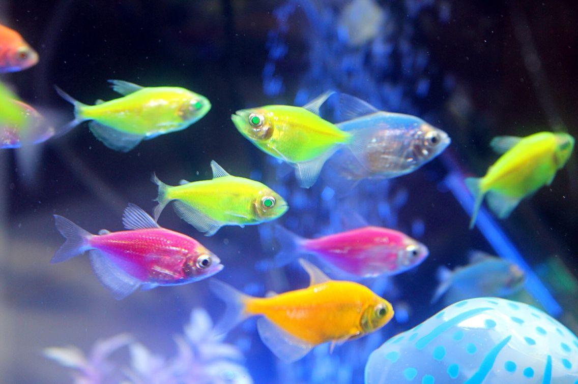 Tetra_Fish