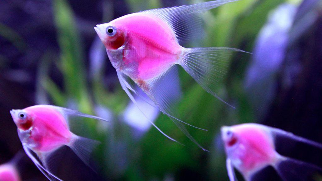 aquarium_fish_disease