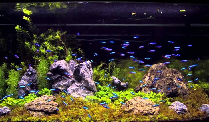 neon_tetra_fish