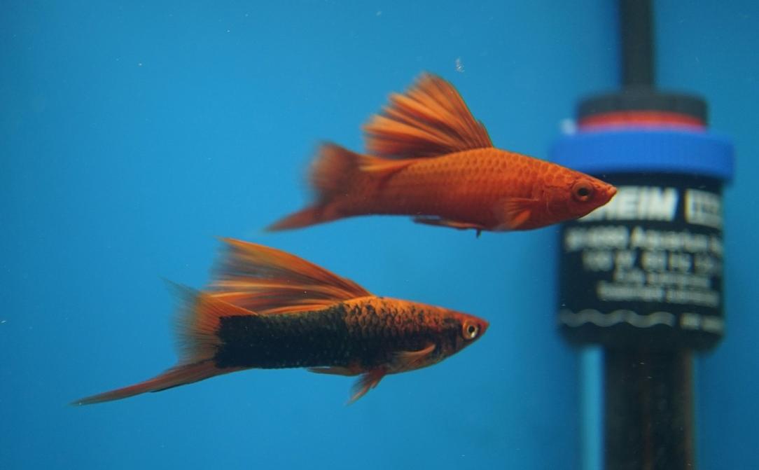 swordtail_fish