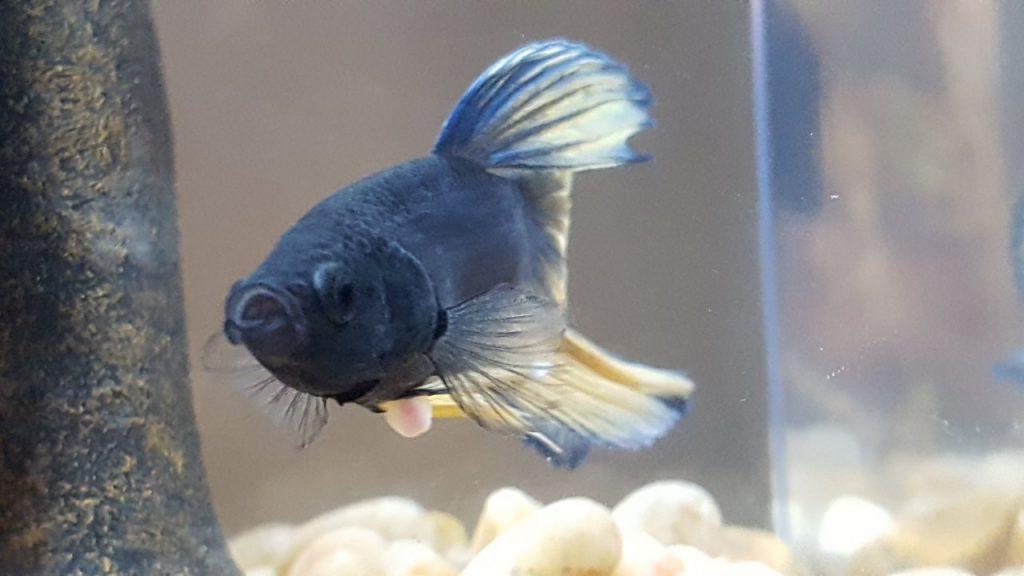 betta-fish_nest-Bubble