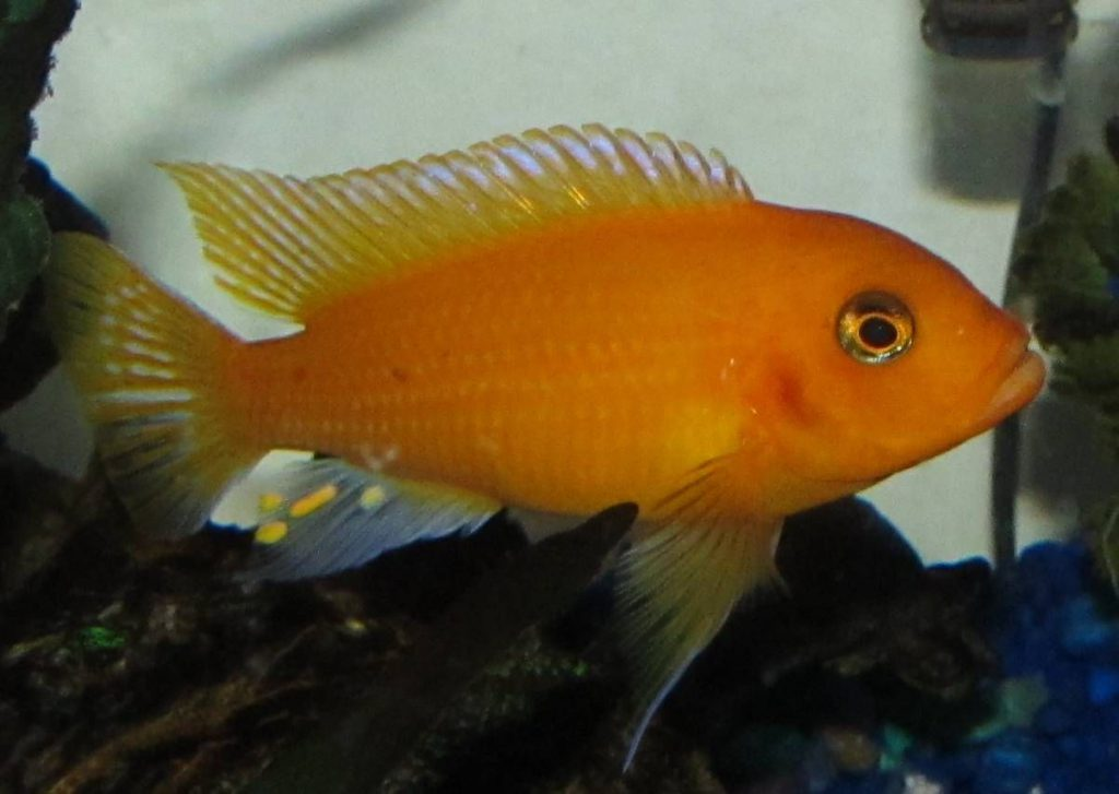 Orange-Zebra-Cichlid