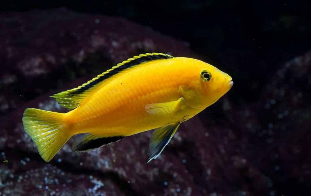 Yellow_african_cichlid
