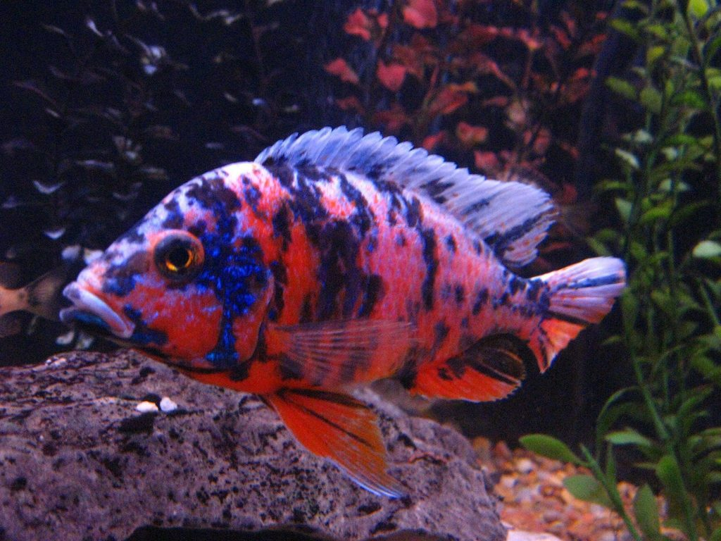 african-cichlid-peacock