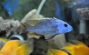 african_cichlid_featured