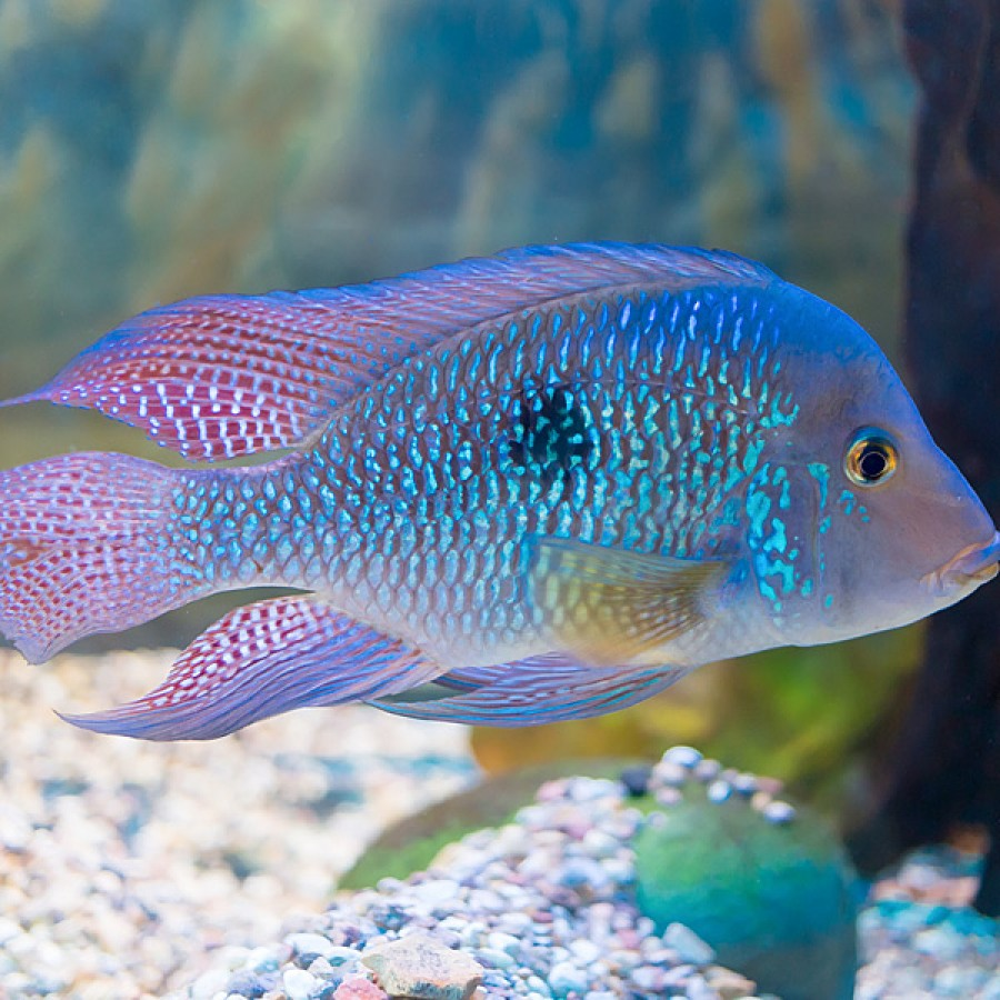African Cichlids Care Food Fish Tank Types Behavior 2019 Guide