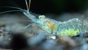 ghost_shrimp