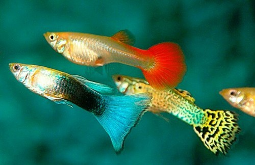 Types of Guppies - Fish For Information | 324x500
