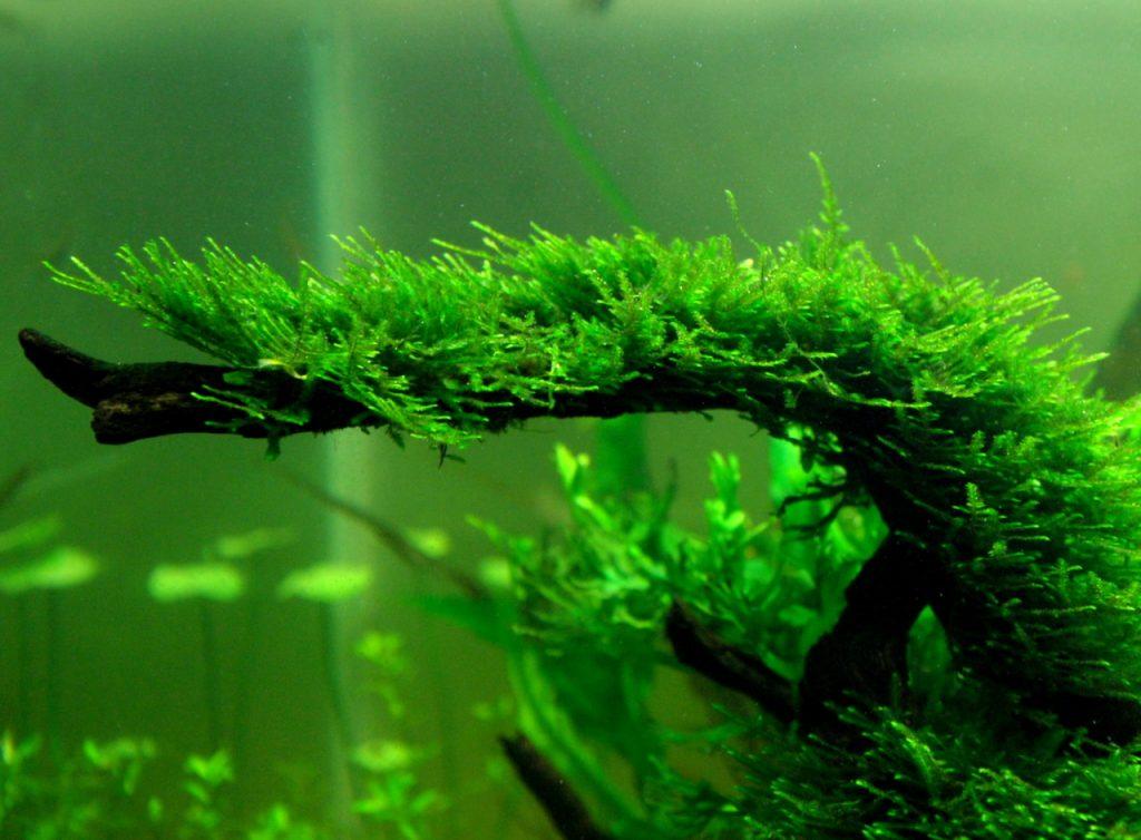 how-to-grow-java-moss