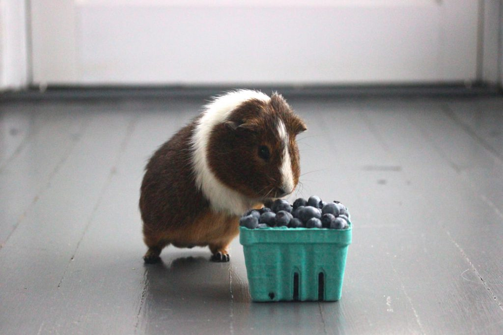 can-guinea-pigs-eat-Blueberries