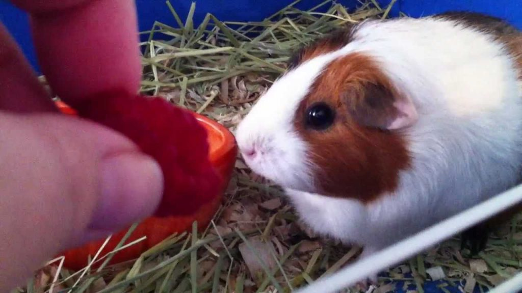 can-guinea-pigs-eat-Raspberries