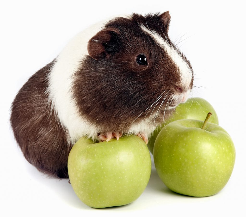 can-guinea-pigs-eat-apples