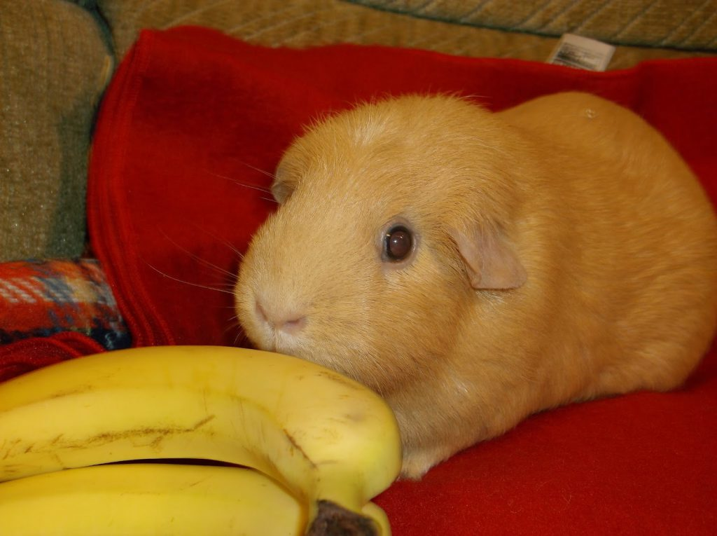 can-guinea-pigs-eat-bananas