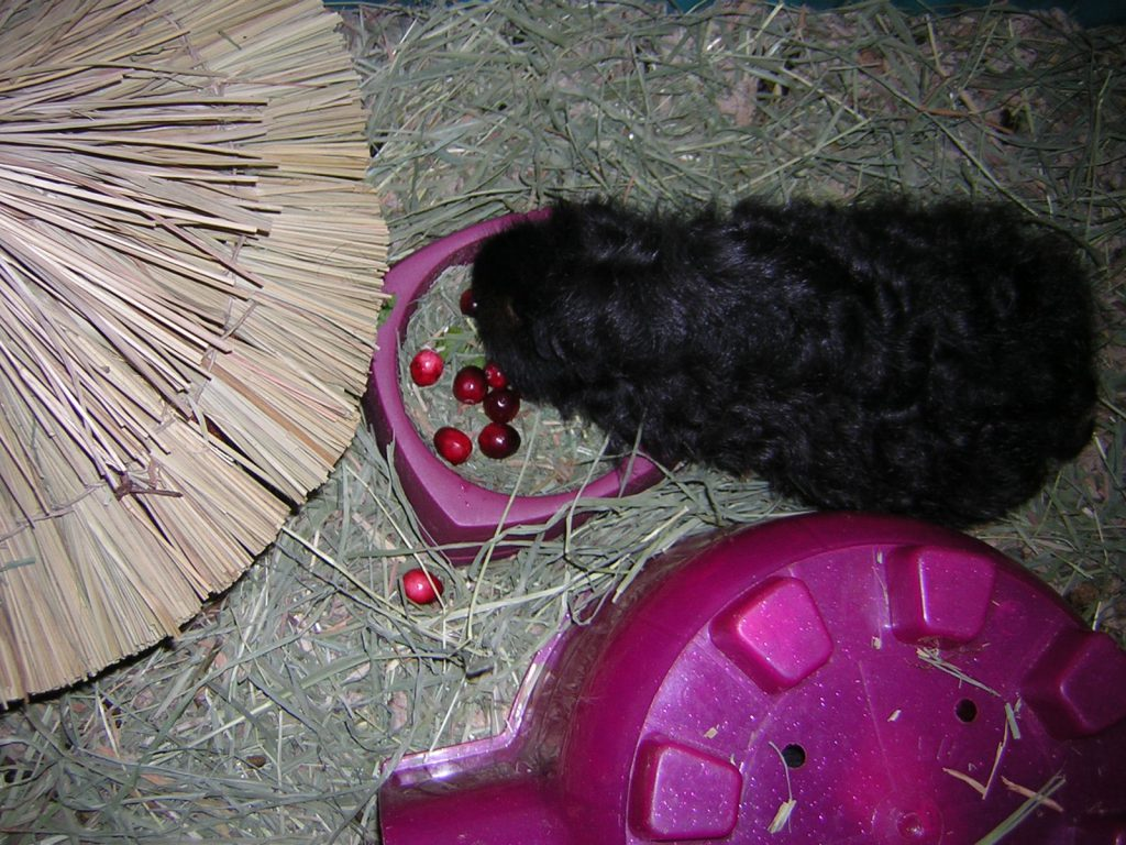 can-guinea-pigs-eat-cranberries