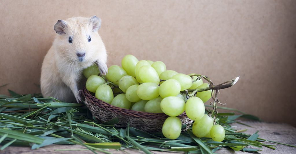 can-guinea-pigs-eat-grapes