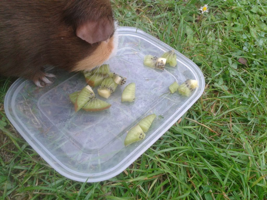 can-guinea-pigs-eat-kiwi