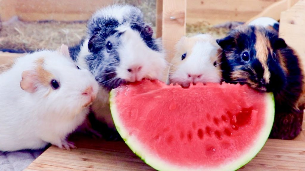 can-guinea-pigs-eat-melons