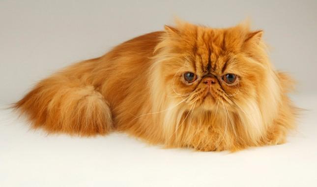 persian_cat_1