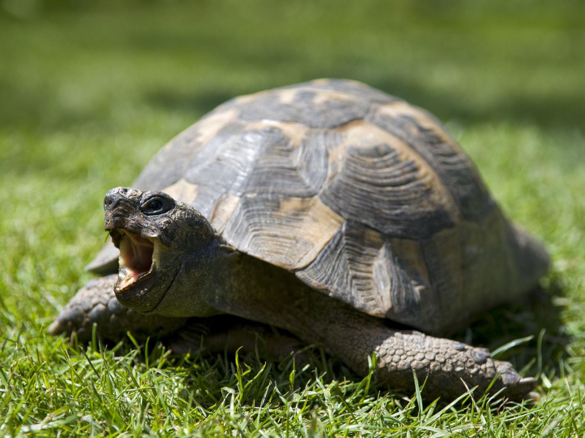 russian-tortoise
