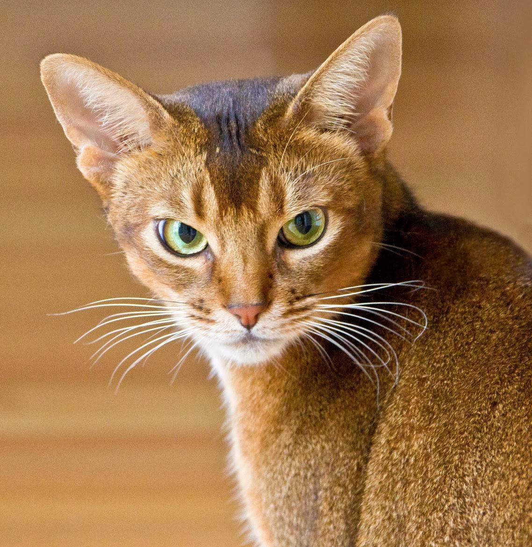 Abyssinian-Cat-cats