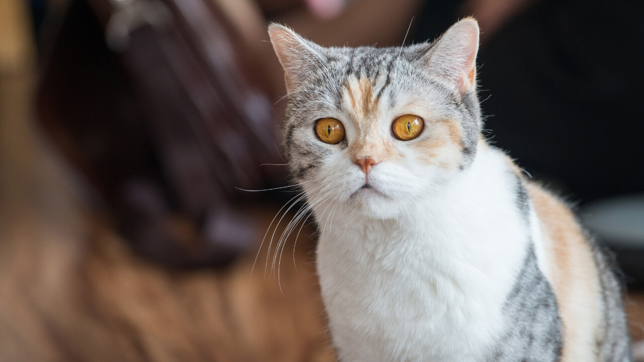 American-Wirehair-Cat-Breed