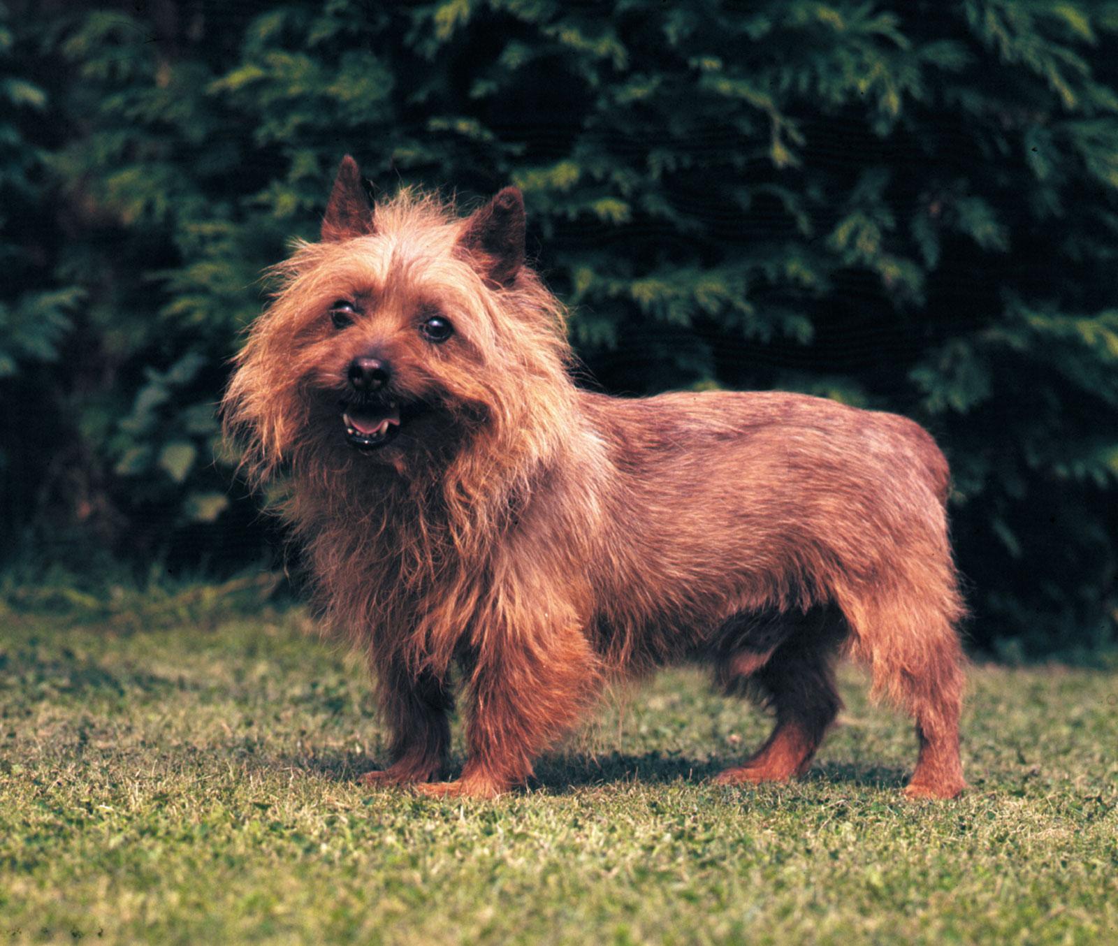 Australian-terrier-history