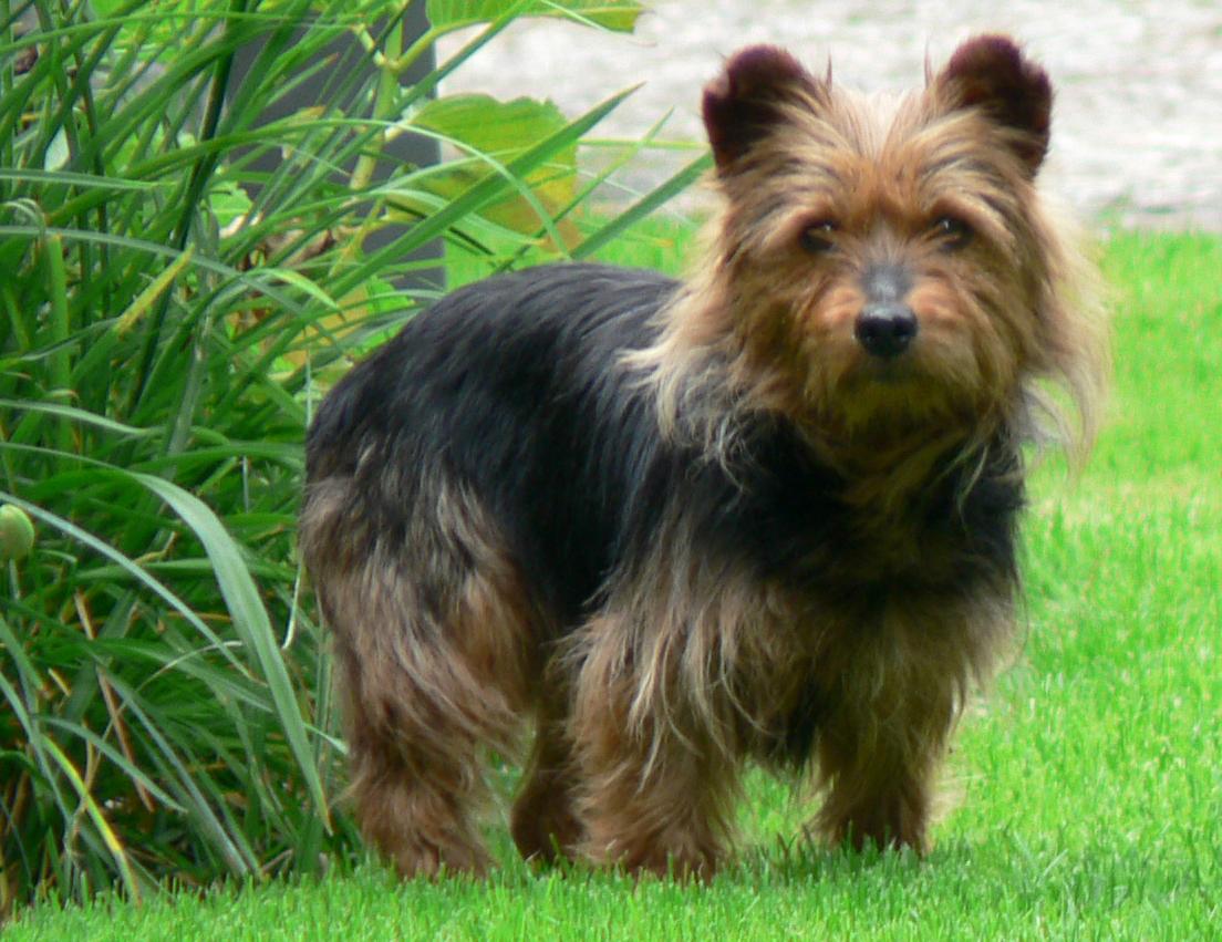 Australian_Terrier_breed