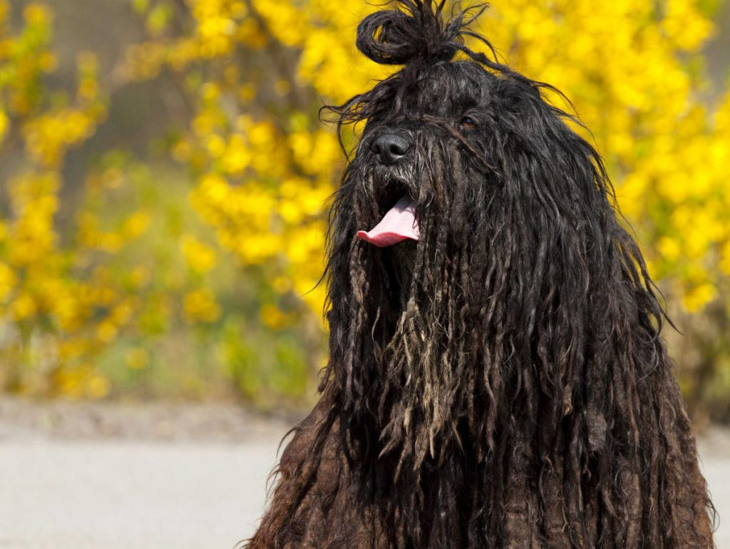 Bergamasco-dog-characterstics