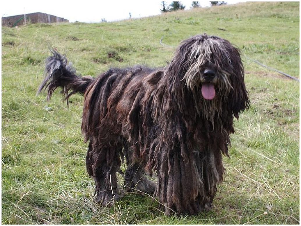 Bergamasco-dog-history