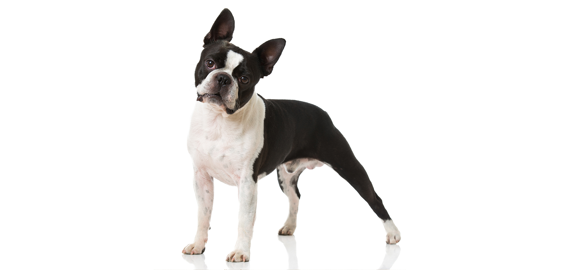 Boston-Terrier-breed