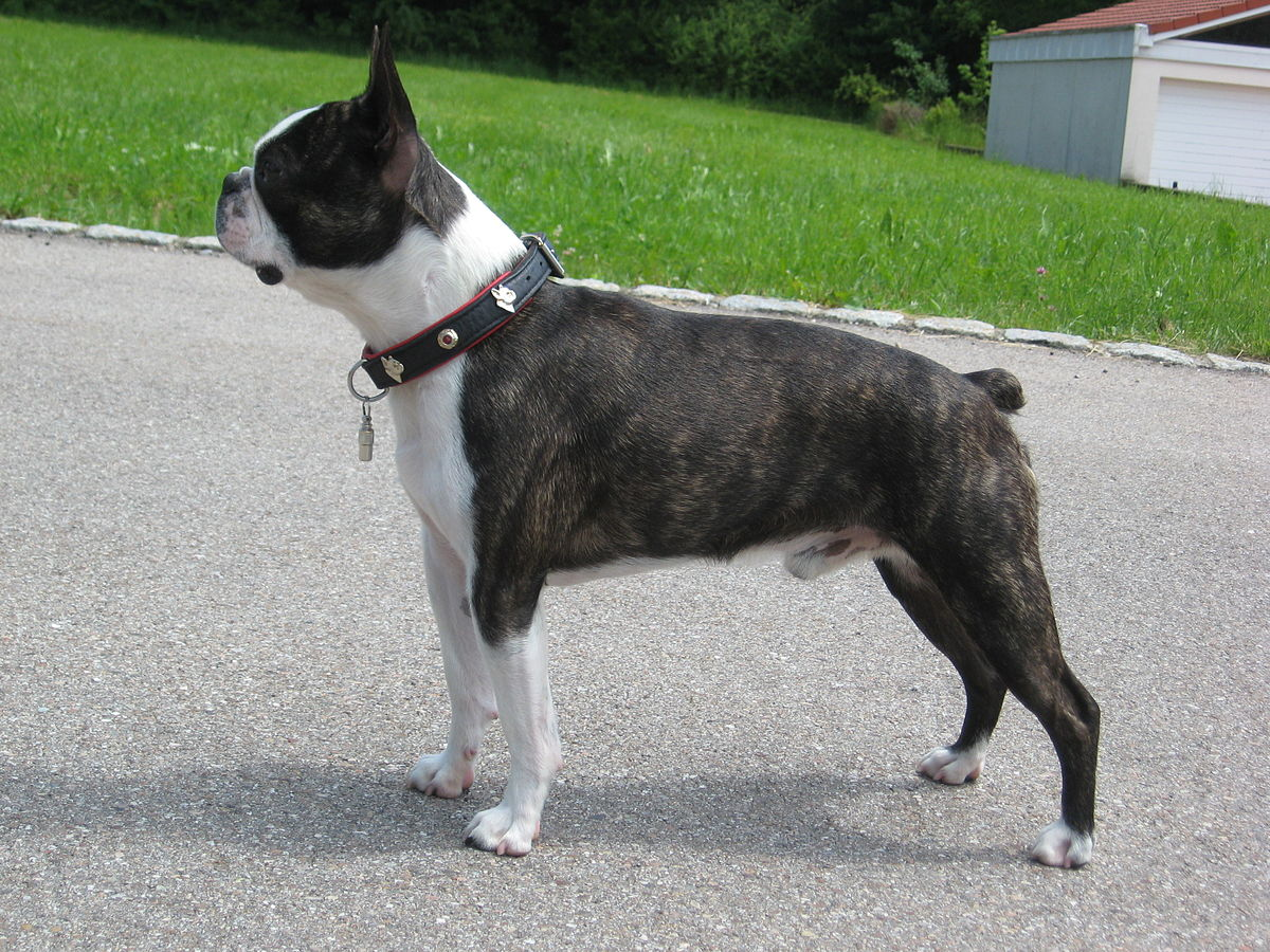 Boston-terrier-dog