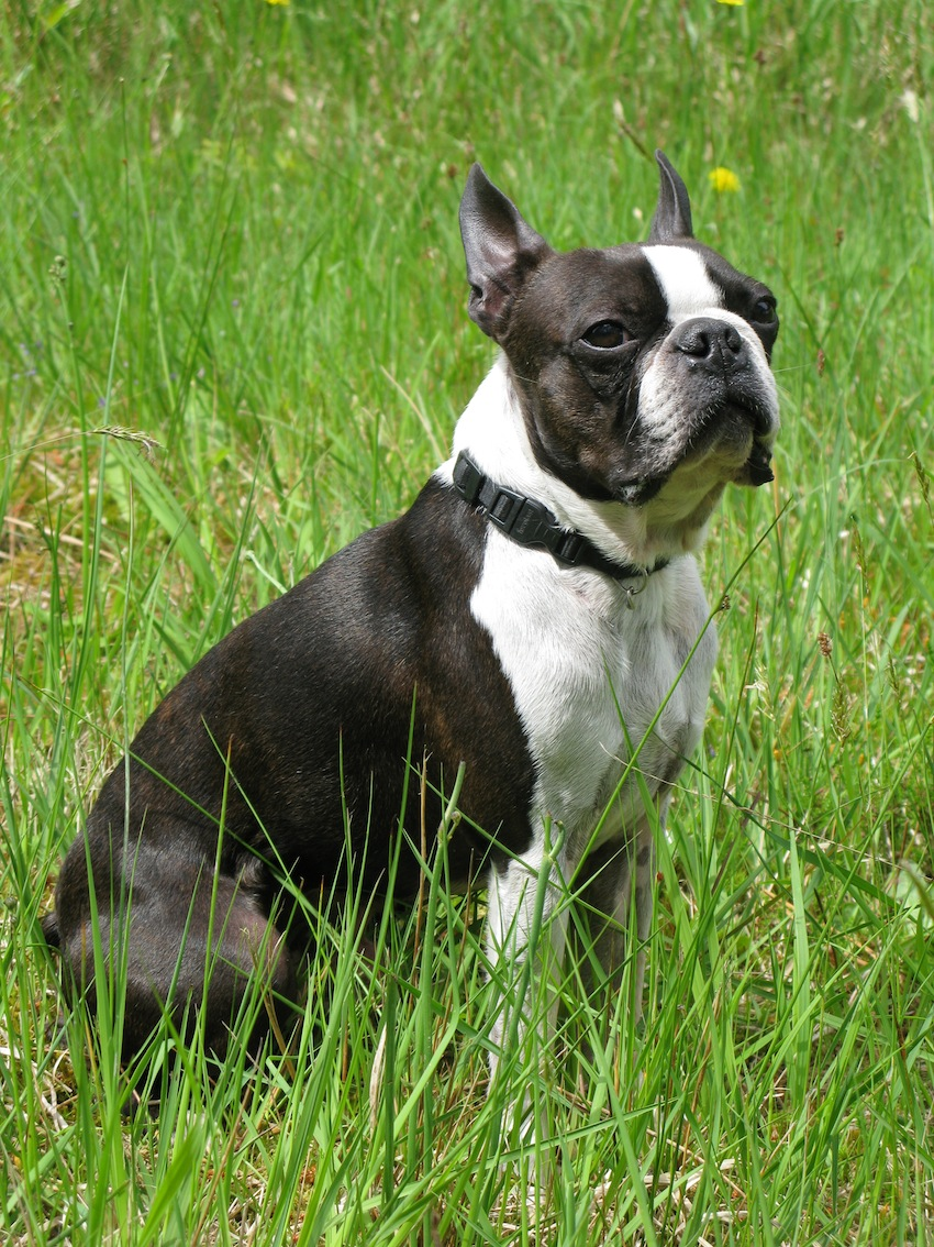 Boston_Terrier_