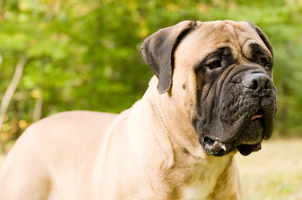 Bullmastiff-dog-sociallizing