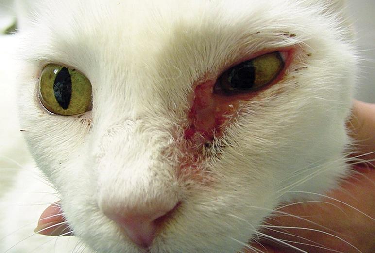 Cat Skin Diseases