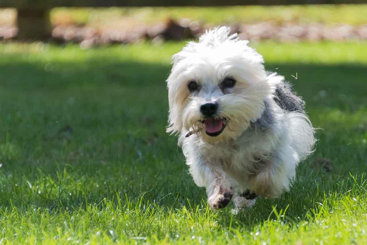 Dandie-Dinmont-Terrier-physcial-feature
