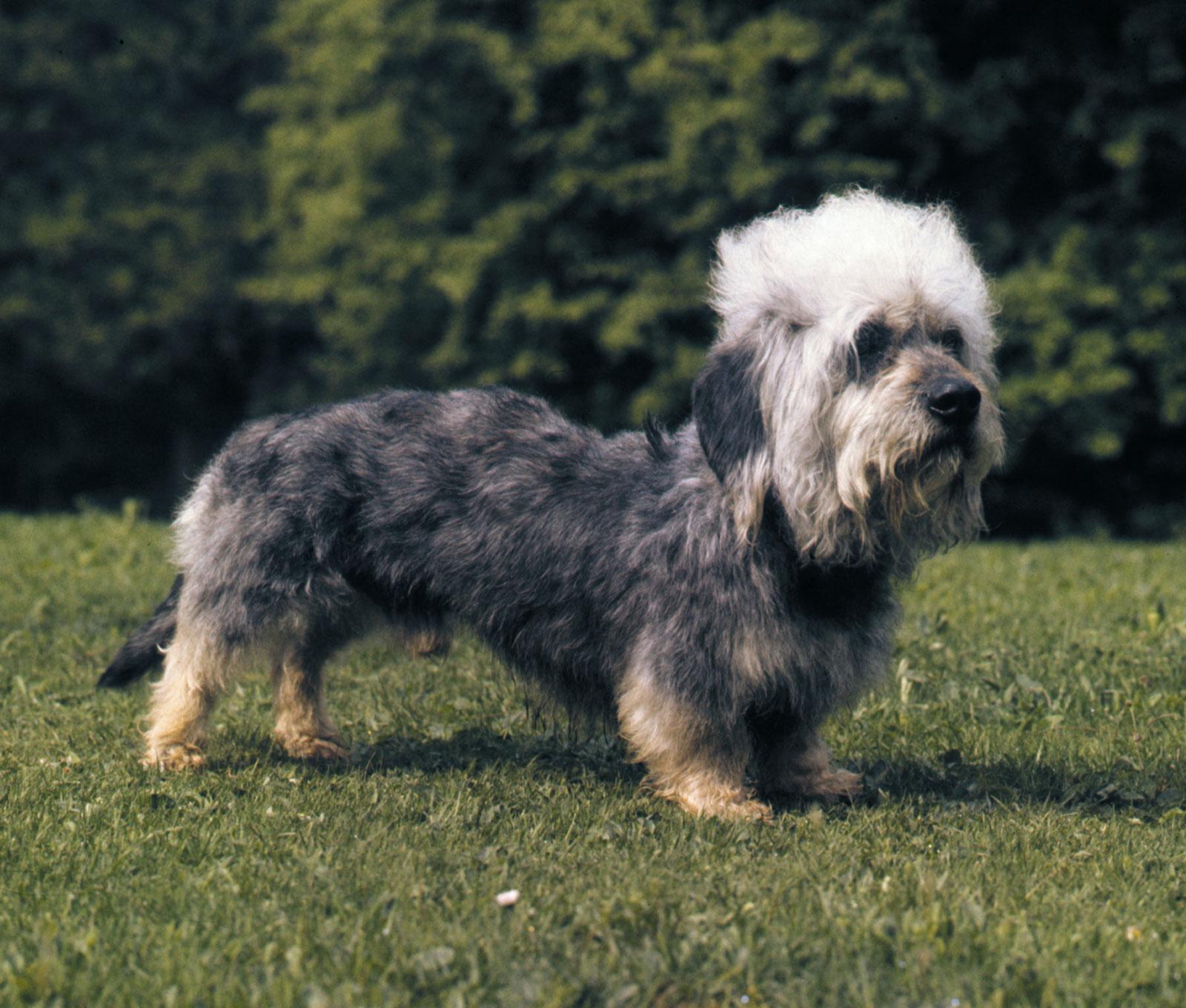 Dandie-Dinmont-terrier-dog
