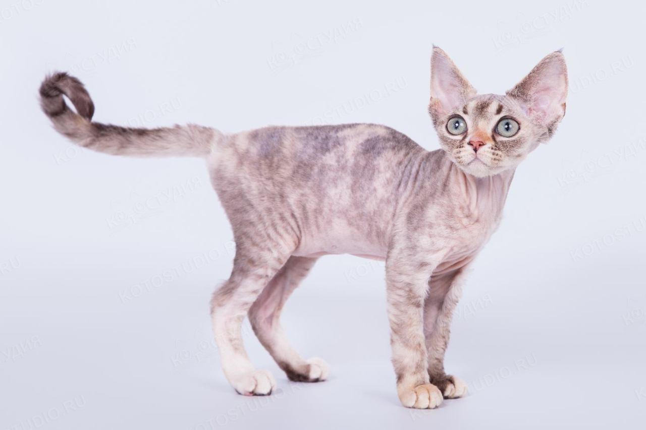 Devon-rex-cat-breed