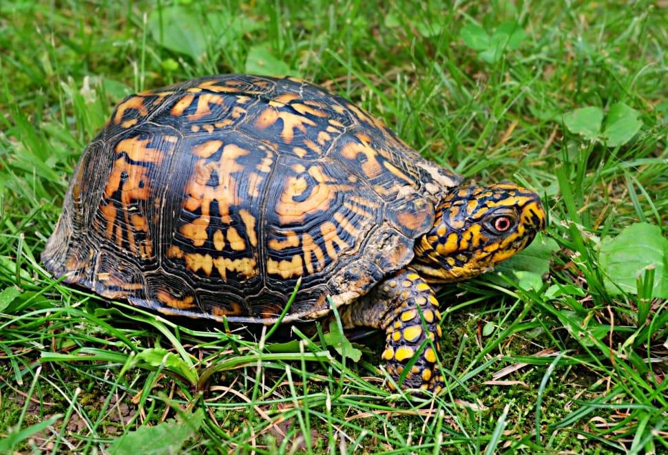 Spur-Thigh-Tortoise