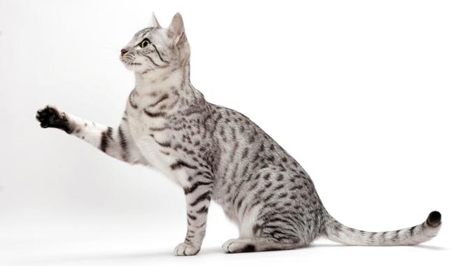Egyptian-Mau-cat-breed