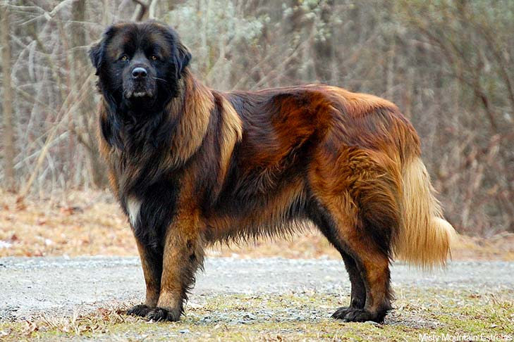 estrela-mountain-dog-Characteristics