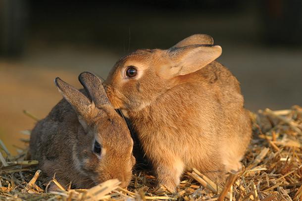 Fertilty-in-rabbit