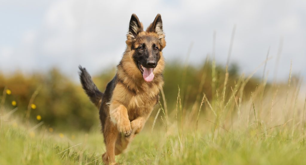 German-Shepherd-history