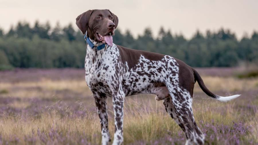 German-shorthaired-Pointer-history