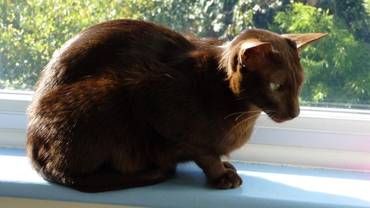 Havana-Brown-Cat